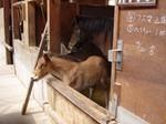 木曽馬.JPG
